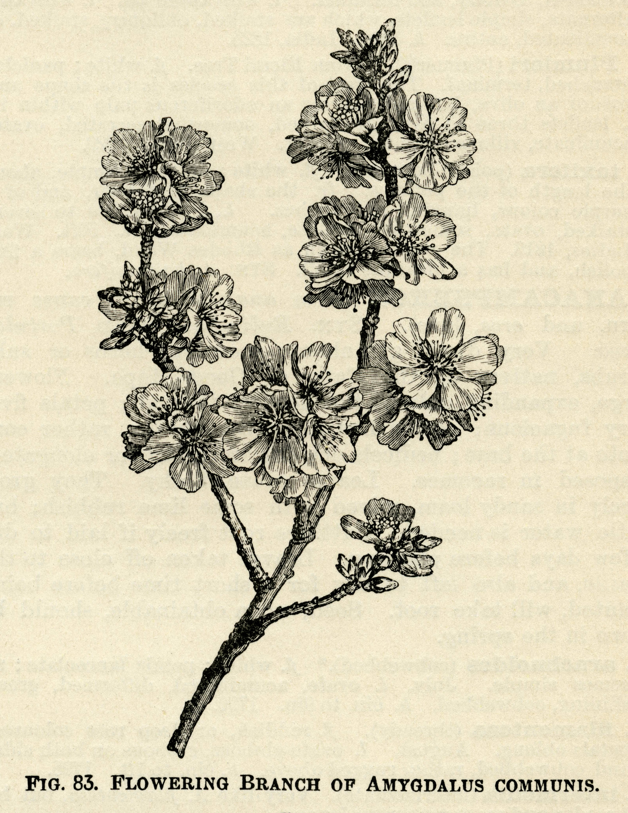 Illustrated Dictionary of Gardening–A Practical and Scientific Encyclopaedia of Horticulture, edited byGeorge Nicholson, circa 1885.